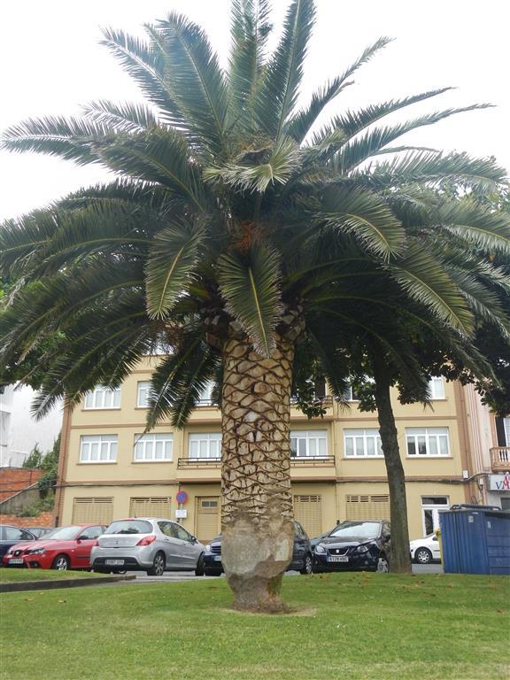 Die Palmen in Cedeira sind angespitzt.