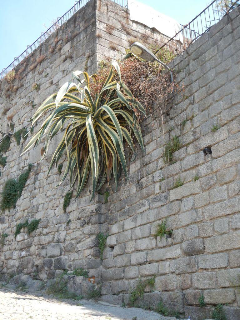 Agaven wachsen hier überall, hier an einer Mauer in Porto.