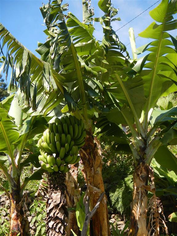 Überall gibt es Bananenpflanzen.