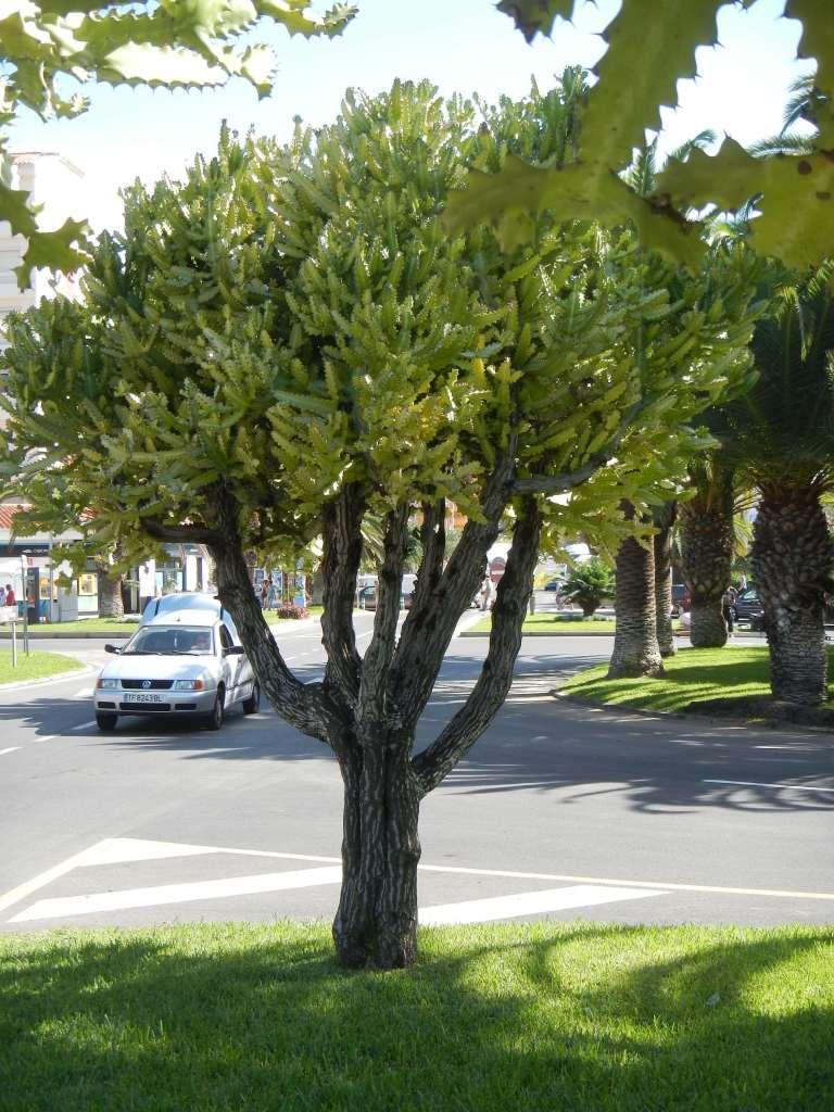 Ein Kakuts-Baum, sieht toll aus!