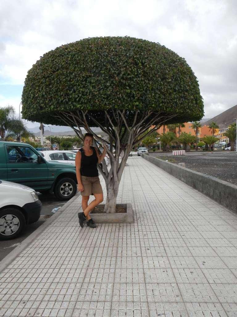 In Los Cristianos werden die Bäume akurat geschnitten!