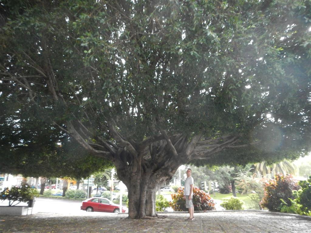 Was für ein Baum! Gesehen in Los Llanos.