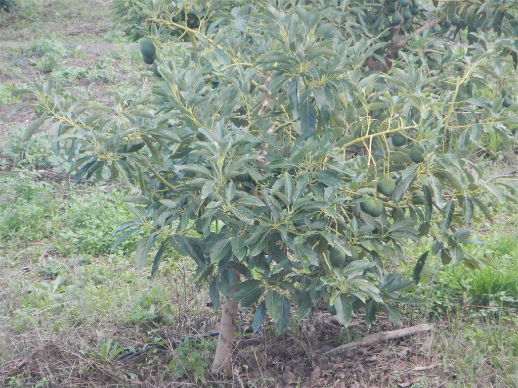 Überall gibt es Avocado-Bäume.