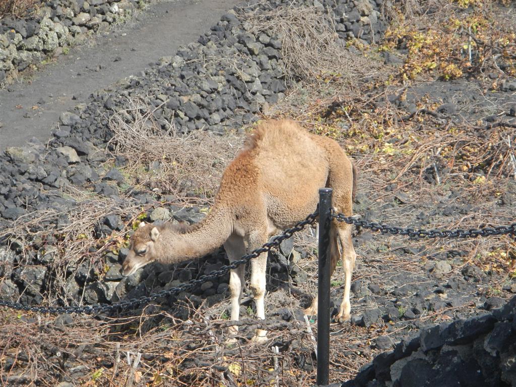 Man kann am Vulkan auch Kamel reiten. Solange sie nicht gebraucht werden, laufen sie dann frei herum, so auch die Kamel Fohlen.