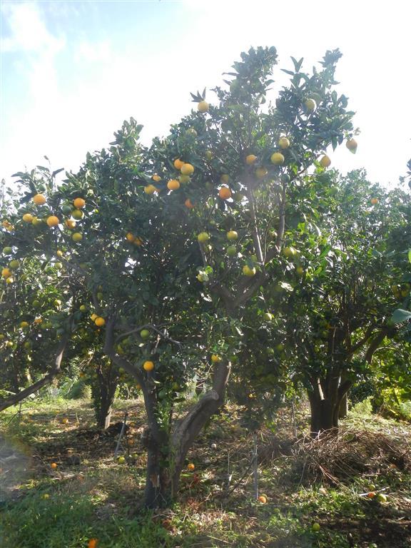 Auf der Insel gibt es viele Orangenbäume. Die Organgen sind relativ klein und gelb, aber sehr saftig und süß.