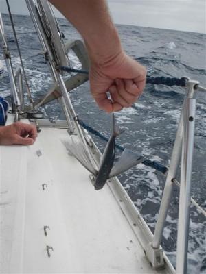 Unser erster toter, fliegender Fisch liegt morgens auf dem Schiff