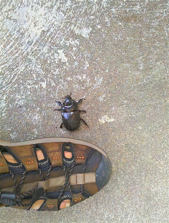 Diesen kleinen Käfer haben wir neulich auf dem Weg zum Supermarkt entdeckt.