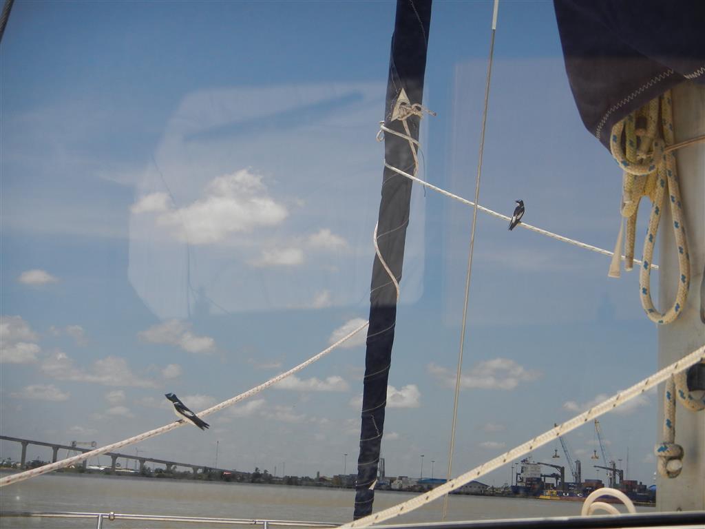 Schon während wir fahren kommen die frechen Vögel, die wir schon aus franz. Guyana kennen und belagern das Schiff