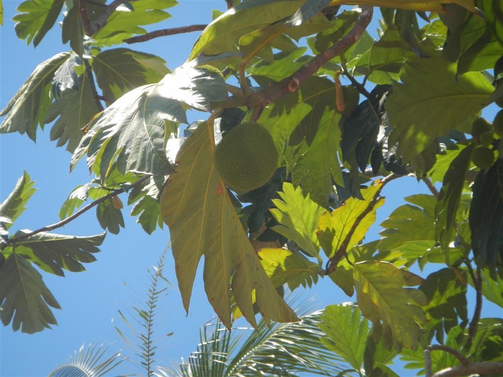 Brotfruchtbaum am Ufer des Stausees