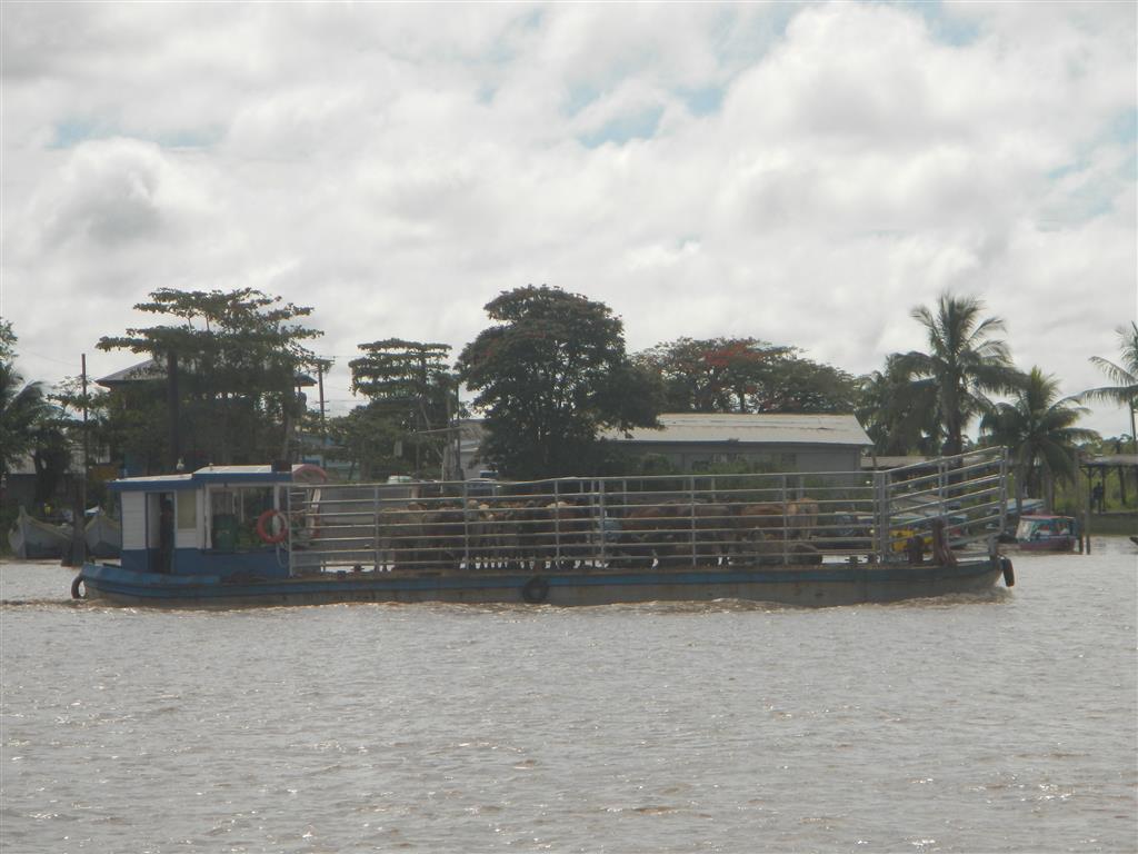 bei der Ausfahrt aus Suriname begegnet uns ein tiertransportschiff
