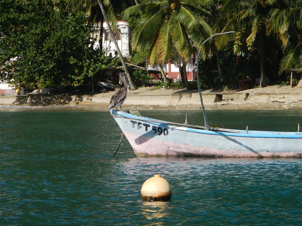 Pelikane auf Tobago