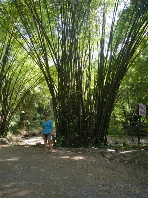 Riesige Bambussträucher