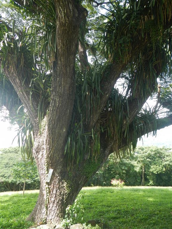 Dieser Baum wird von einigen anderen Pflanzen bevölkert