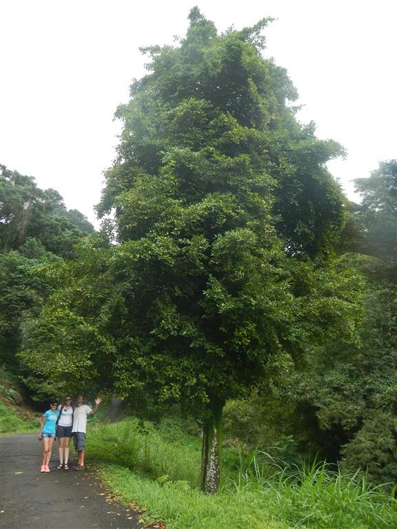 Unterm Muskatnussbaum