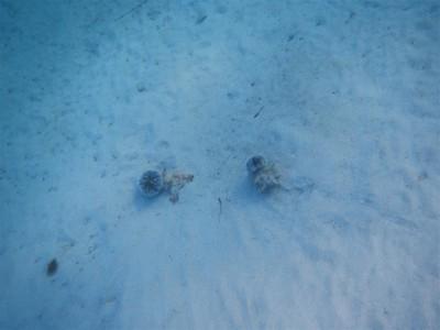 zwei Riesenschnecken nebeneinander. Jede Schnecke hat immer noch einen Seeigel als Mitbewohner