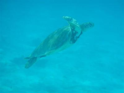 Schildkröte beim Auftachen. Stundenlang könnten wir ihr zuschauen.