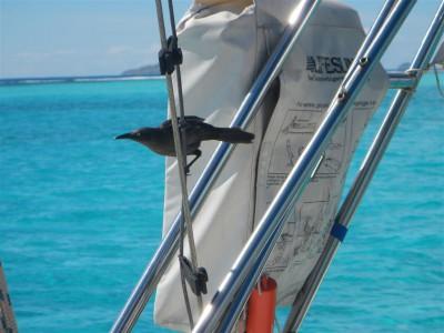 Die kleinen schwarzen Vögel können ziemlich laut sein und sind ganz schön frech!