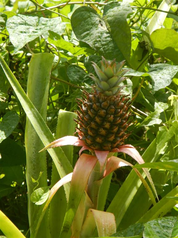 Ananaspflanze