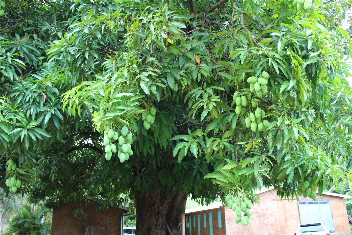 Überall wachsen auf Martinique Mangobäume und tragen unendlich viele Früchte