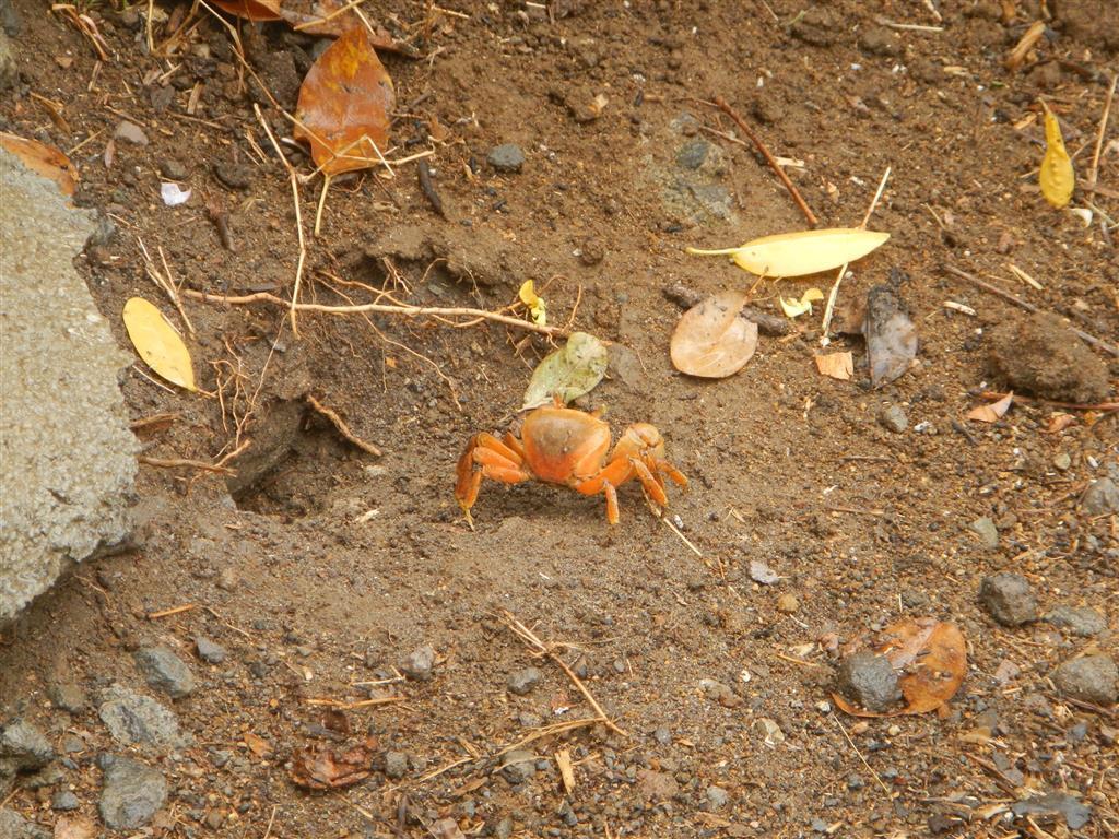 Auf Terre de Haut treffen wir viele Tiere: Mr. Crab...