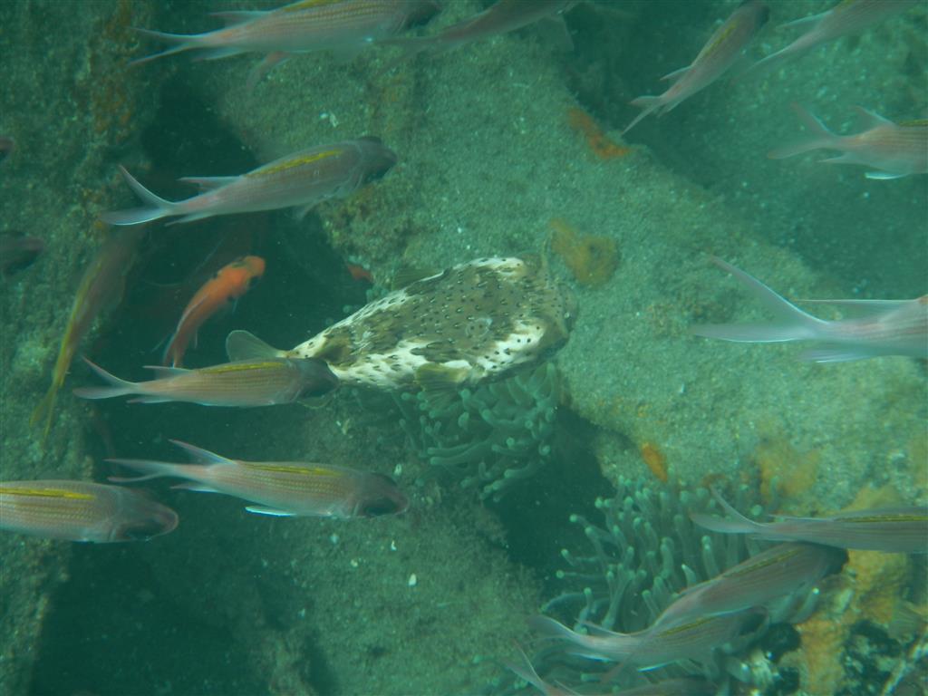 Kleine Kugelfische schwimmen um das Wrack