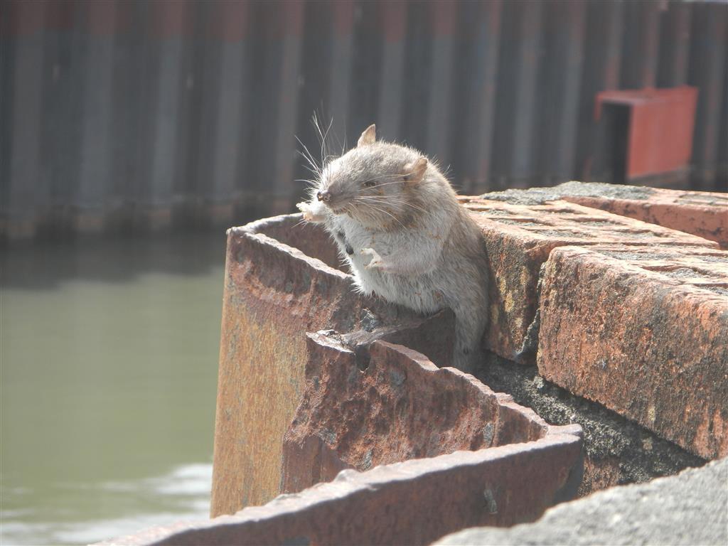 Bei einem Spaziergang durch die Stadt finden wir diese arme Ratte, die sich nicht mehr selbst aus ihrer Lage befreien konnte und gestorben ist