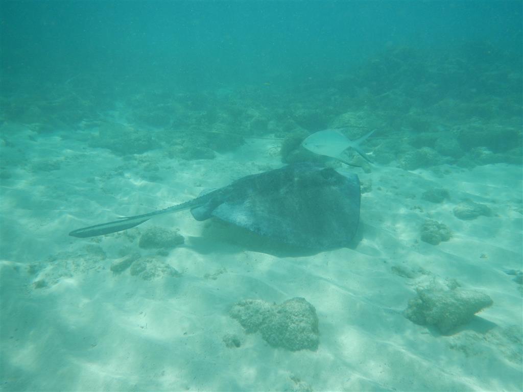 Wir sehen viele Rochen in den Tobago Cays