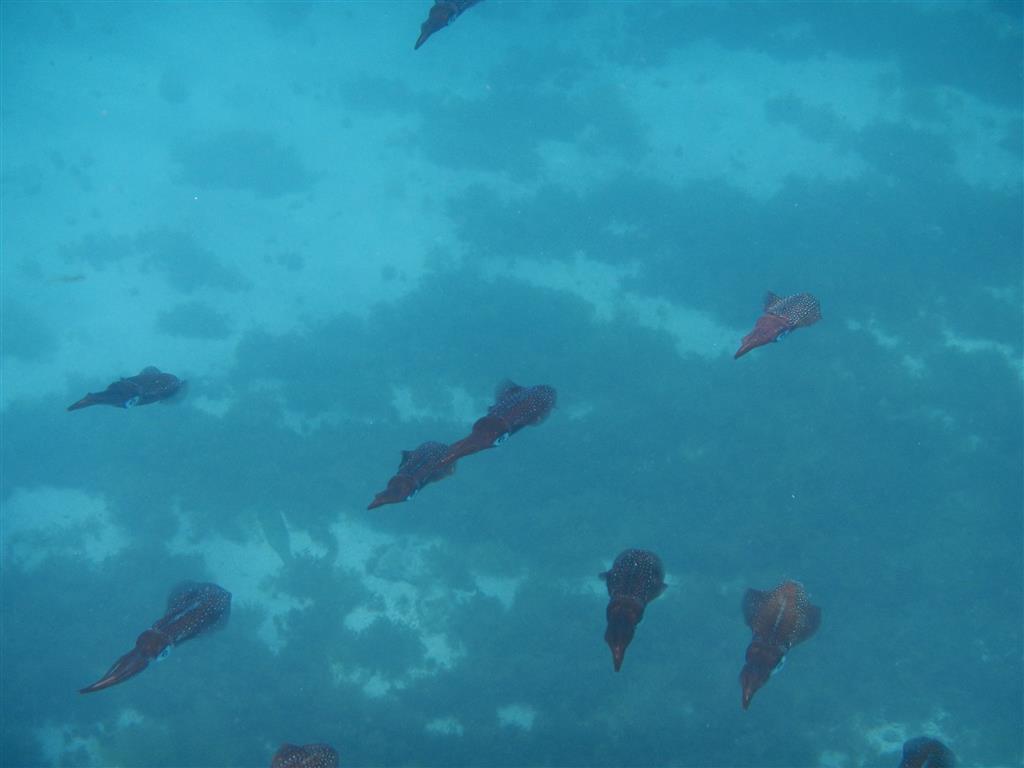 Ein Schwarm Tintenfische schwimmt um unser Schiff