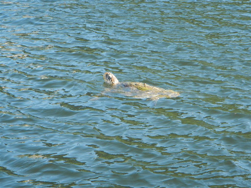 Auch in der Scotlands Bay gibt es Schildkröten