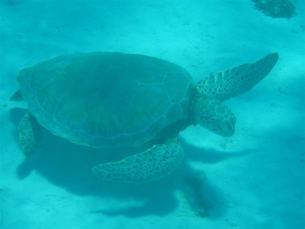 Schnorcheln mit den Schildkröten in den Tobago Cays.