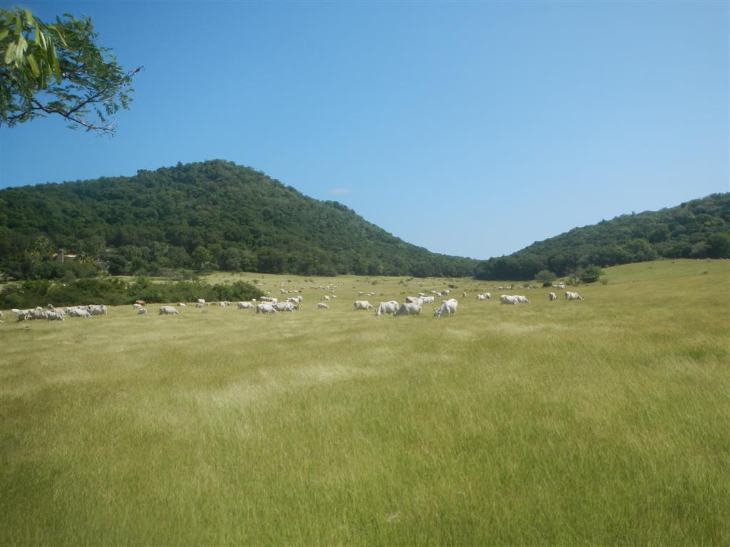 Sogar das Weidengras haben die Franzosen nach Martinique mitgebracht, solch ein Bild sucht man auf den englischen Inseln vergeblich.