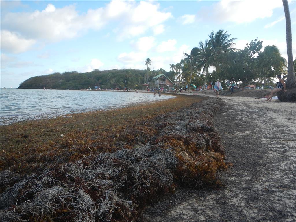 Viel Saragossagras wird an den Stränden der Ostküste angespült (Le Vauclin)